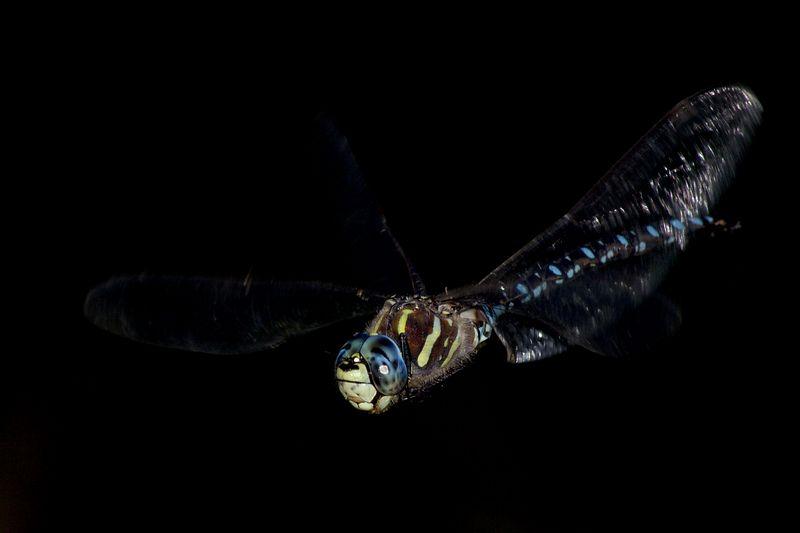 bluedragonflyinflight4.jpg