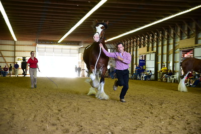 26 563 Clydesdale Yield Mare 4+