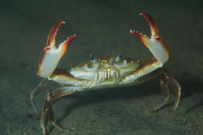 lady crab