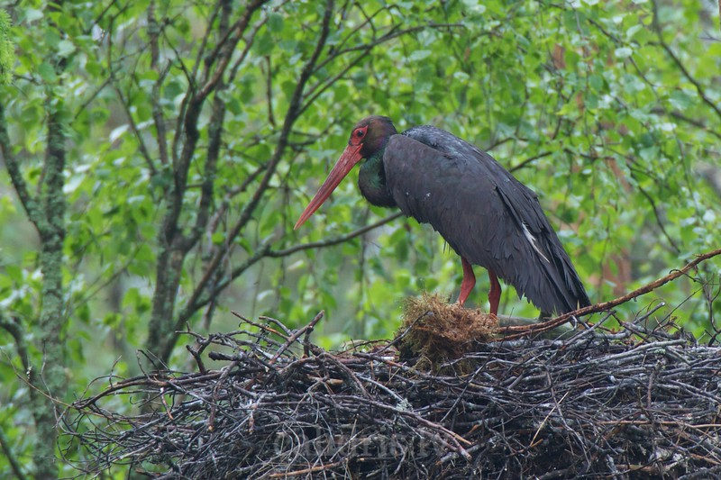 Black Stork in the nest
