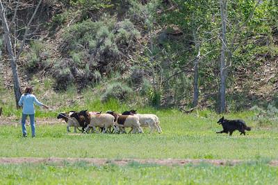 BSCA Herding Tests/Trials June 4-6 2021