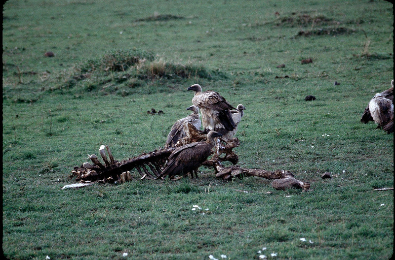 vultures dining