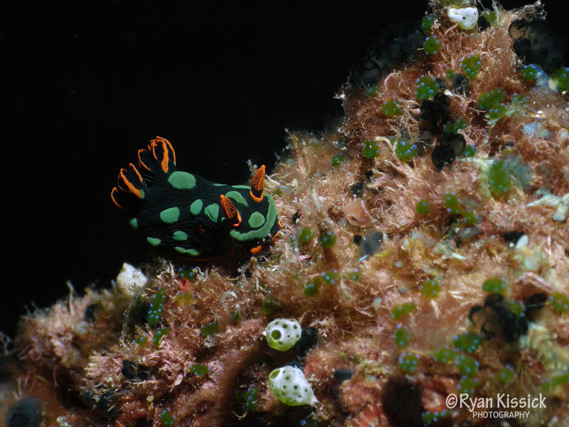 One of many exquisite nudibranchs in the Solomon Islands