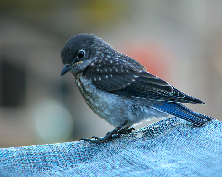 bluebird_fledgling_4523.jpg