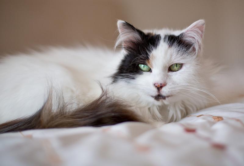 Turkish Van cat_6880581788_o_8179382102_o.jpg