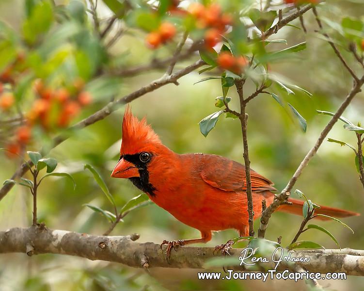 RJP-Cardinal-WhatchaLookingAt-004.jpg