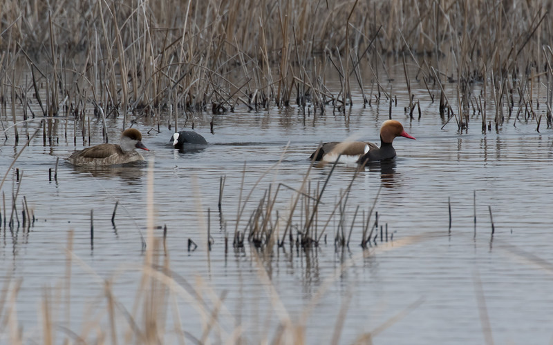 sultan marshes, krooneend, red-crested pochard
