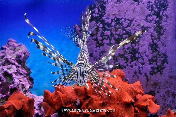 Lion Fish and Coral, Florida Keys Florida