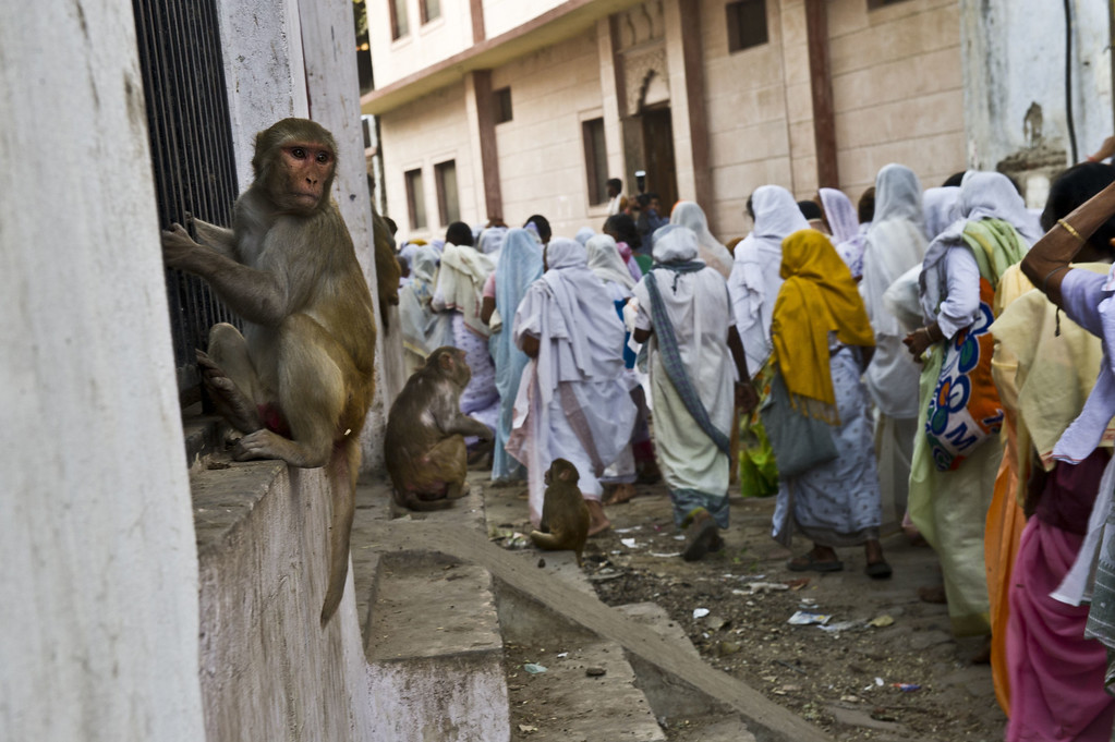 . Monkeys look on as Indian residents living in the Mahila ashram, a home for widows, walk to the waters of a Yamuna river to participate in a celebration for the Hindu festival Diwali in the northern city of Vrindavan on October 21, 2014. ROBERTO SCHMIDT/AFP/Getty Images