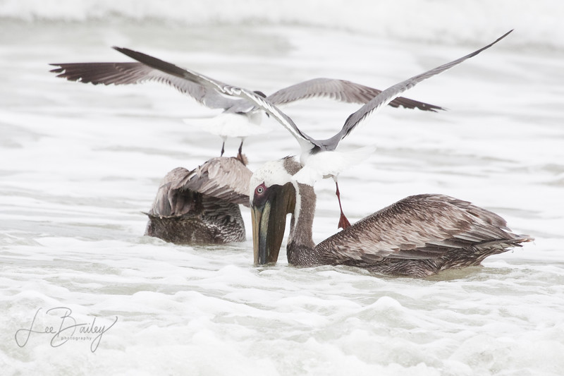 Laughing Gulls stealing fish from the Pelicans