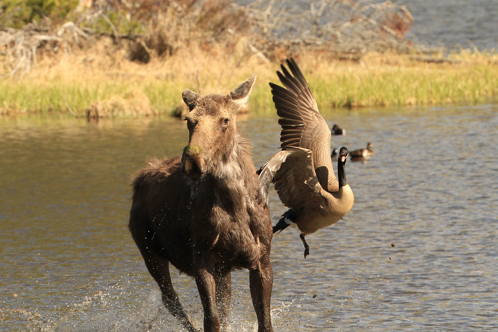 . A goose attacks a moose that encroached too close to its nest near the shores of Sprague, spring 2014.  (Robert Burns / Special to the Trail-Gazette)