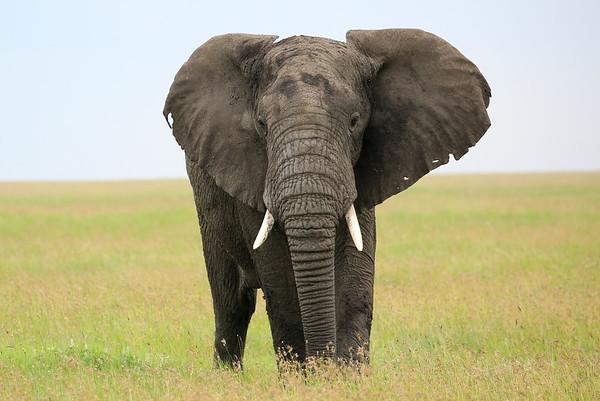 Elephant Tanzania 2006 2009 2010 2016