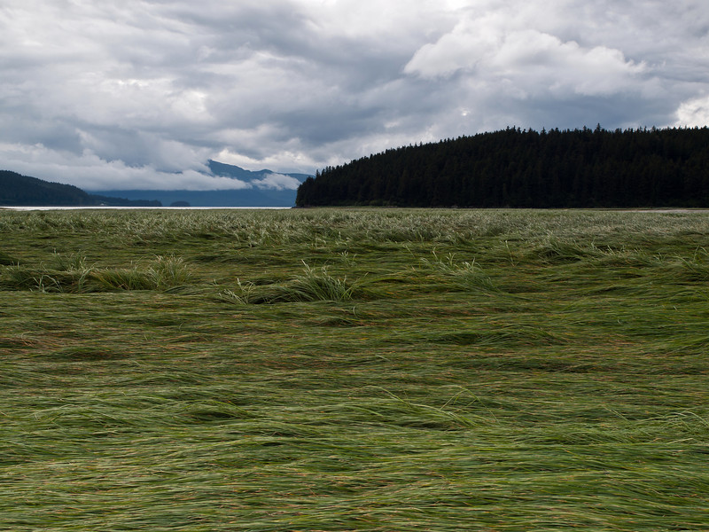 I thought it was interesting how the outgoing tide left all the grass lying in one direction. This is looking out at the Mendenhal Peninsula, where the Mendenhal River ends in Juneau.
