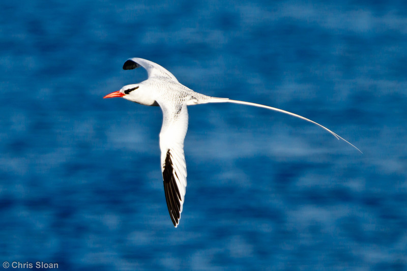 Red-billed Tropicbird at Champion Island, Galapagos, Ecuador (11-22-2011) - 106.jpg