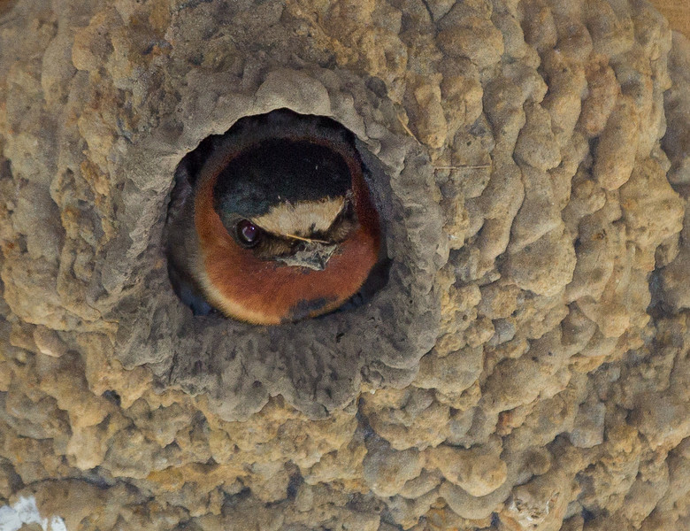 Cliff Swallow at Anahuac NWR.