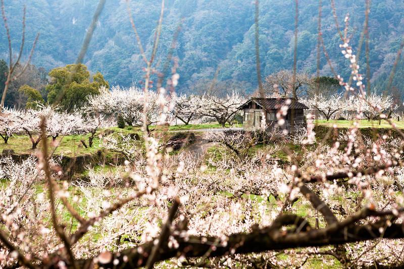 AlikGriffin_Shack_Japanese_Plum_Blossoms.jpg