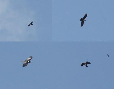 Afrikanvaris (Corvus albus)