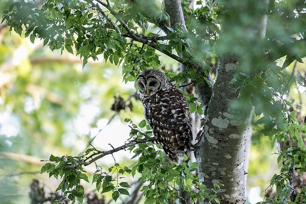 Lynn's Owls July 2015