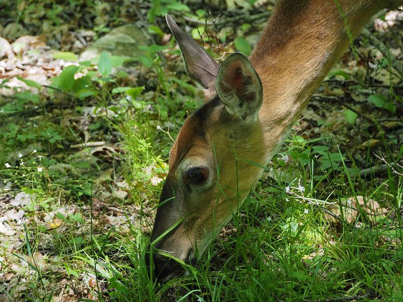 Trusting deer