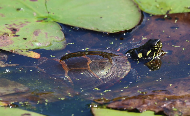 painted turtle maine 2.jpg