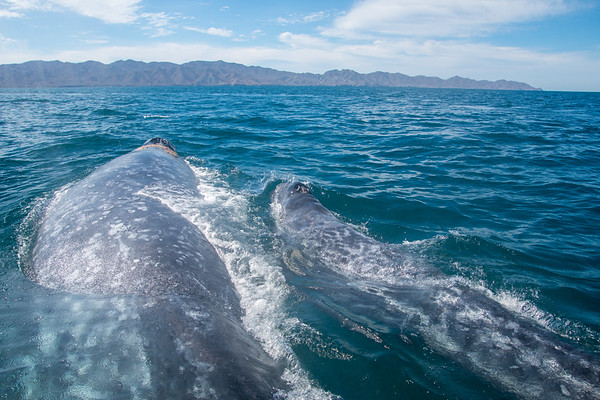 Baja 2018 - Watching the Whales