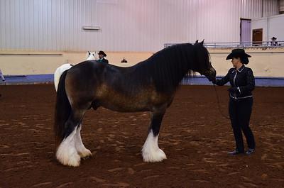 Champion Reserve Stallion