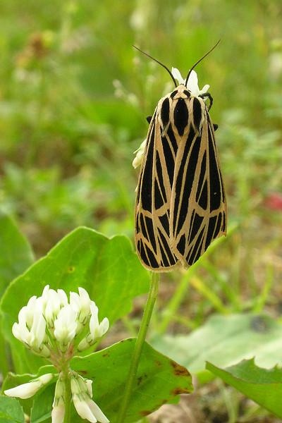 Tiger Moth - Virgin - (Grammia virgo) - Dunning Lake - Itasca County, MN