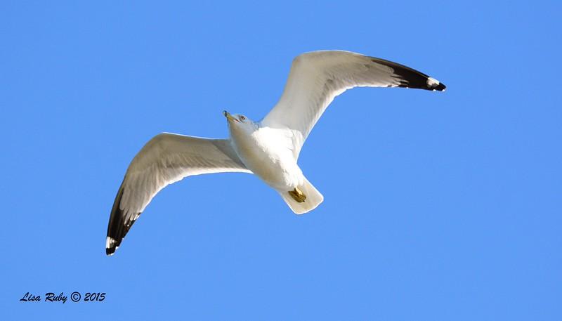 Ring-billed Gull - 1/17/2015 - Salt Works, Chula Vista