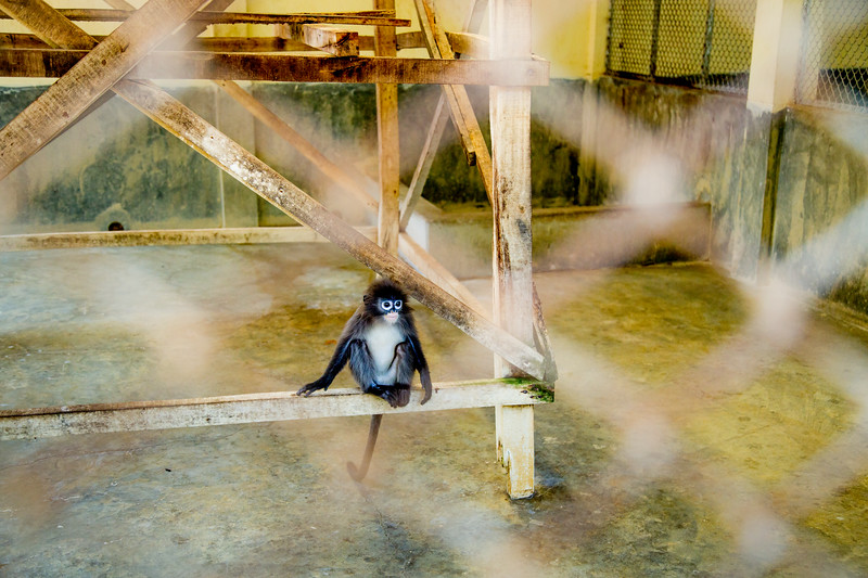 Baby dusky leaf monkey (Trachypithecus obscurus) in a zoo enclosure, Bangladesh