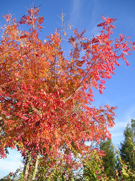 This tree's foliage was engaged in changing from yellow to red for its full autumn color.