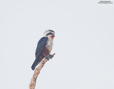 Falcons Family Falconidae