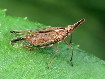 Dictyopharidae