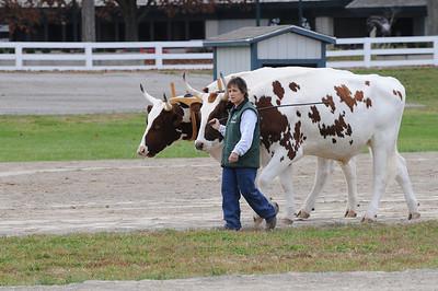 Oxen at KHP 11911