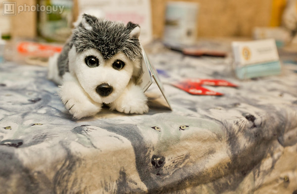 0015-South Florida Siberian Husky Rescue-Edit
