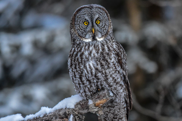 11-25-15 Great Gray Owl