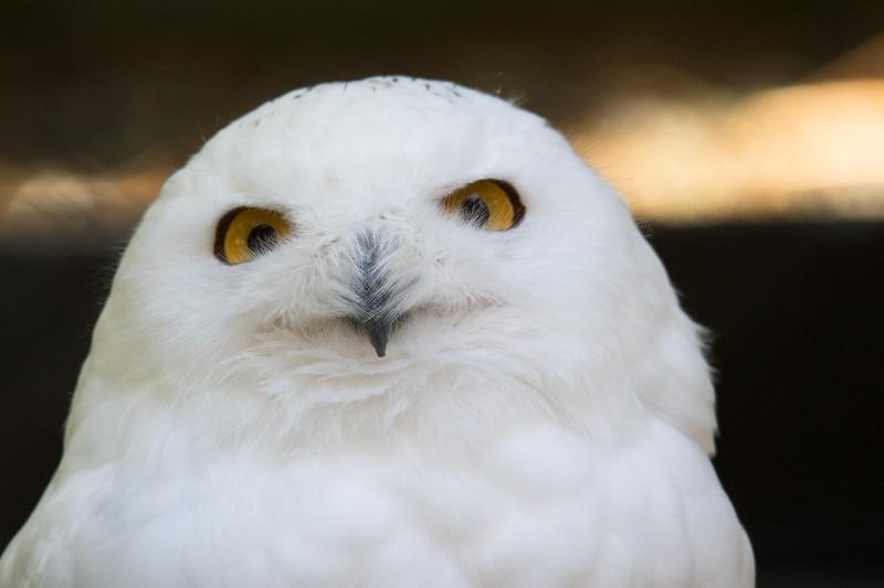 Snowy Owl Vermont 2019-2.jpg