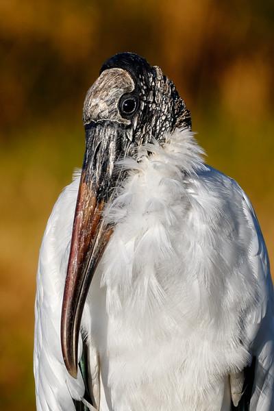 Wood Stork-8498.jpg