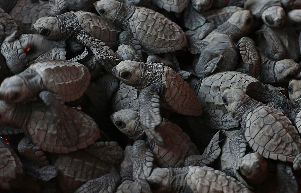 ". In this Saturday, Dec. 2, 2017 photo, olive ridley sea turtle hatchlings are gathered together before their release to the sea in Sayulita, Nayarit state, Mexico. A local non-profit organization ""Red Tortuguera\"" is helping the turtles survive by relocating recently laid eggs to a protected area of the beach, collecting the hatchlings to keep them safe from bird attacks, and releasing them as a group every Saturday at sunset. (AP Photo/Marco Ugarte)"