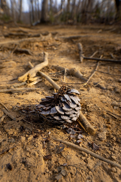 burnt and damaged pine cone on the ground after a forest fire