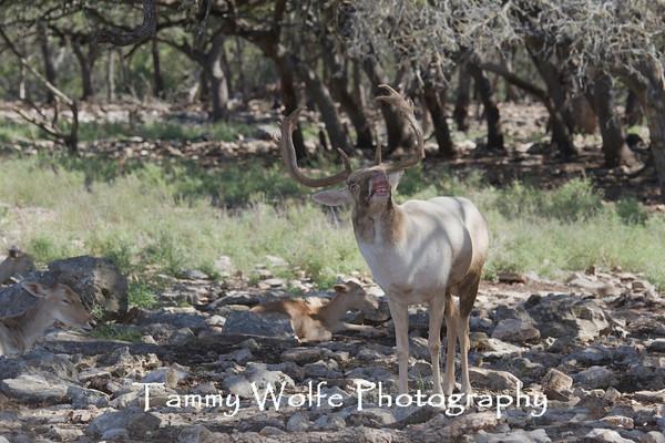 Deer, Fallow