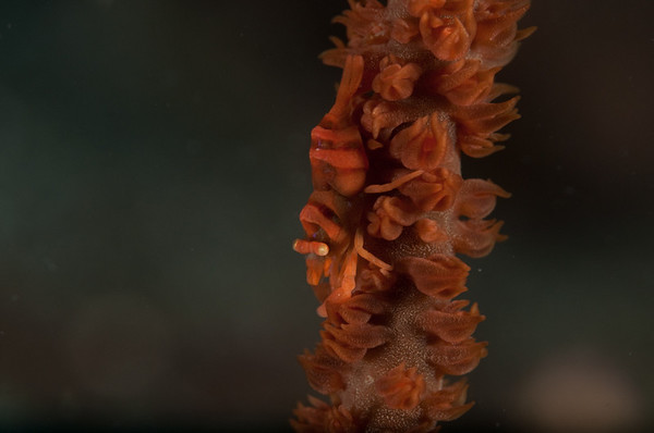 Lembeh Strait March 2011