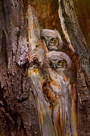 Owl110