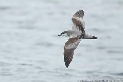 Albatrosses, Petrels, Shearwaters, Storm-petrels