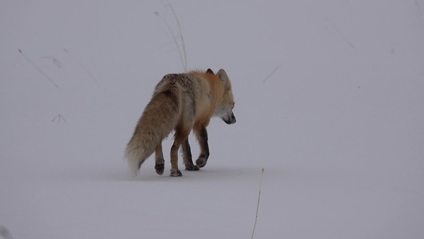 4-10-20 Video - Red Fox by Me