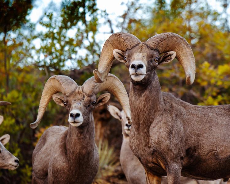 Zion - Bighorn Crop - BG - KCOT.jpg