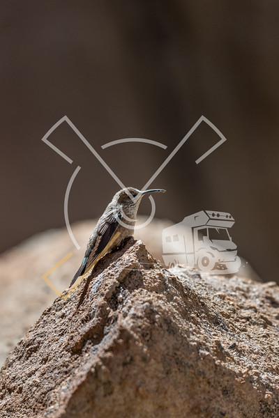 Female Andean Hillstar (Oreotrochilus estella) also called Picaflor de la puna at its nest in the Bolivian Altiplano