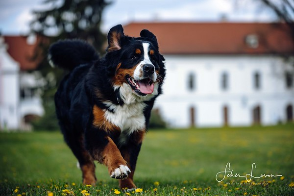 Berner Sennenhund Selected