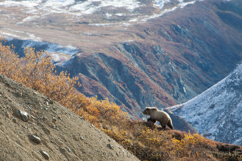 Grizzly wandering near Eielson Visitors Center, Denali National Park.