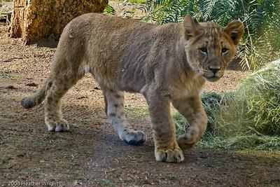 Cheetah Run Safari, December 2006