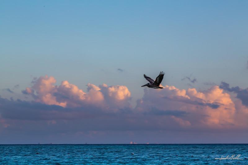 Lone Pelican